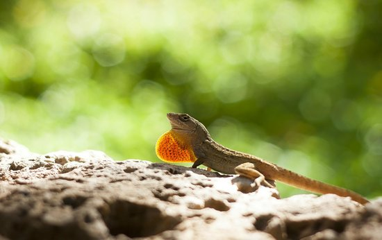 Sheraton Maui Resort & Spa : Lizard friends