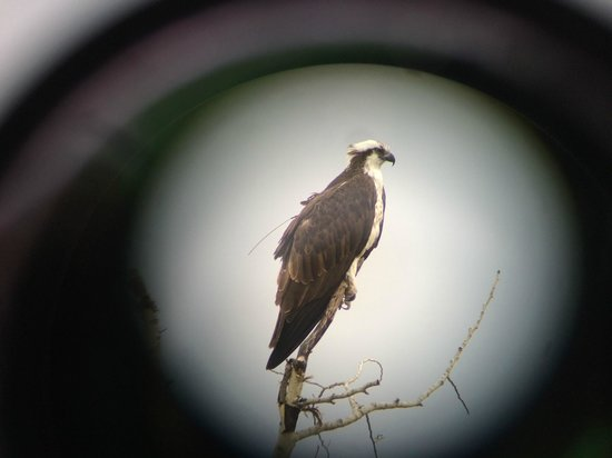 Wildlife Expeditions of Teton Science Schools: Osprey