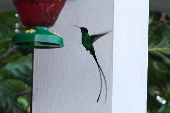 Tamarind Great House: Humming Birds Abound