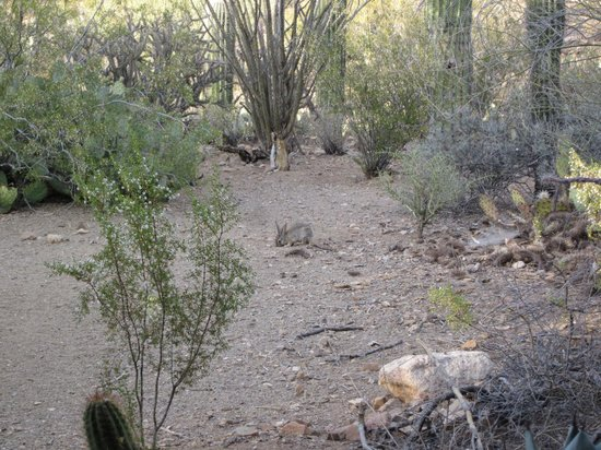 Crickethead Inn Bed and Breakfast: Desert cottontail viewed from patio