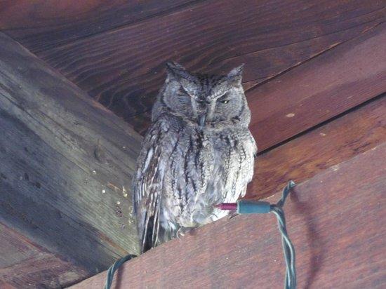 Crickethead Inn Bed and Breakfast : Western Screech-owl under eaves of Inn