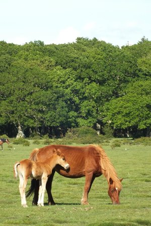 Hollands Wood Campsite: Wild Horses in the field by the campsite