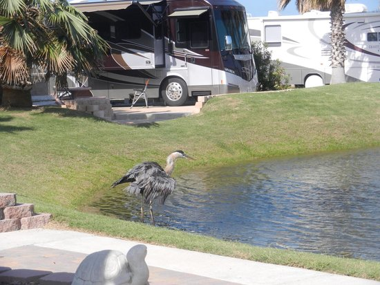Gulf Waters Beach Front RV Resort: Wildlife on the Pond at Gulf Waters RV