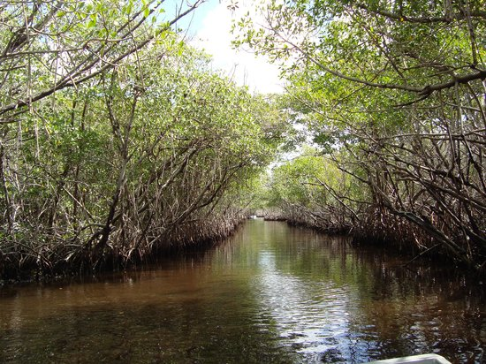 Everglades City Airboat Tours: Mangrove