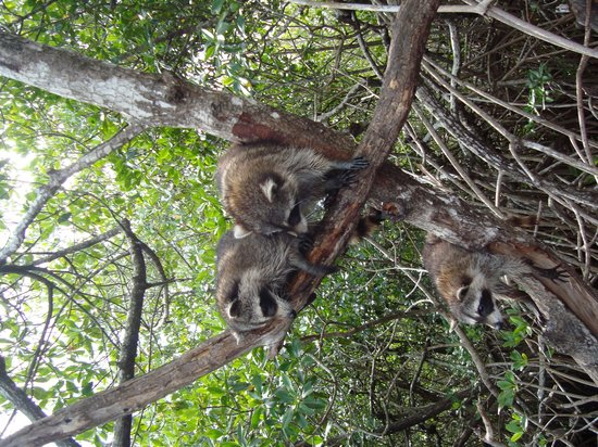 Everglades City Airboat Tours: Racoons