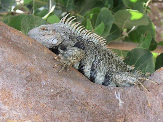 Wilhelmina Park: Iguanas por doquier