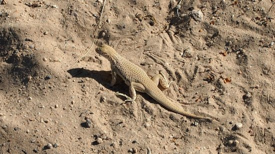 Mojave National Preserve: Lizard at Kelso Dunes