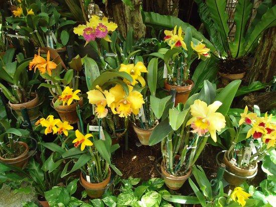 Tropical Dream Center : Orquídeas amarelas