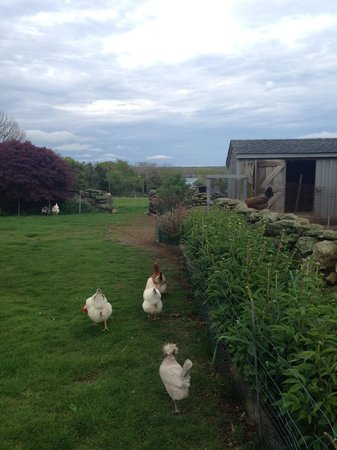 Stonehaven Family Farm : Chickens