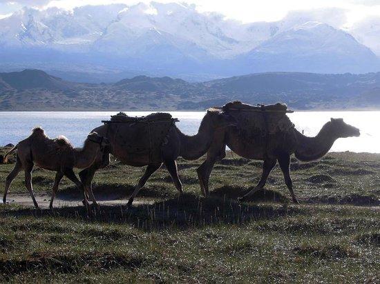 Akto County, China: Von vorn nach hinten: Kamele, Karakul, Kongur
