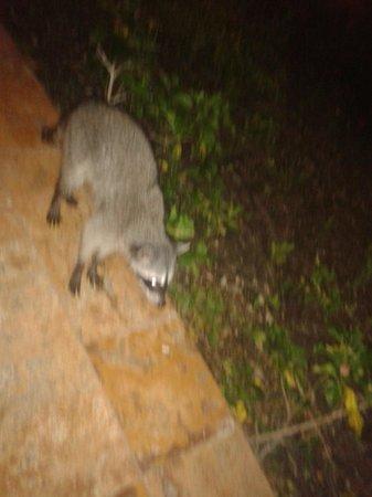 Sandos Caracol Eco Resort: El mapache!