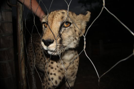 N/a'an ku se Lodge and Wildlife Sanctuary: Samira the beautiful 16yr old cheetah