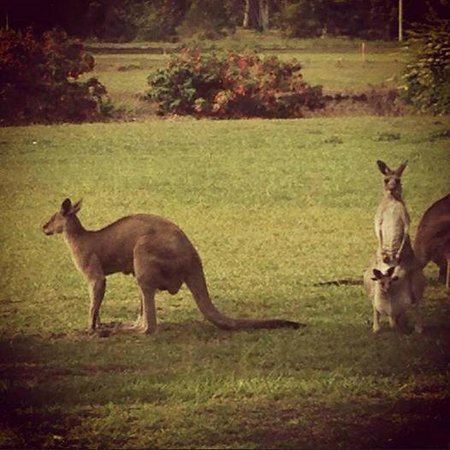 Lake Weyba Cottages: Kangaroos on the garden