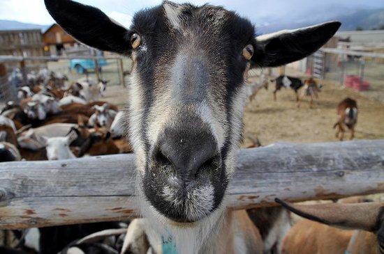 Jumpin' Good Goat Dairy : Welcome! Legacy won my heart with her personal greeting.