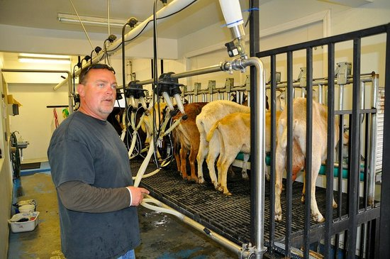 Jumpin' Good Goat Dairy : Great fun watching the milking – and all questions cheerfully answered.