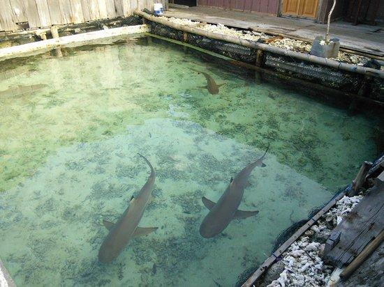 Wisma Apung Karimunjawa: shark