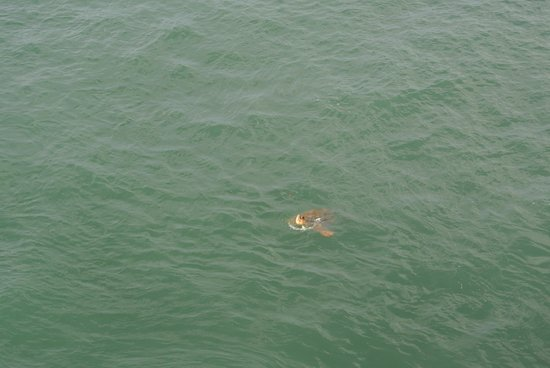 Seven Mile Bridge: The turtle coming up to breathe