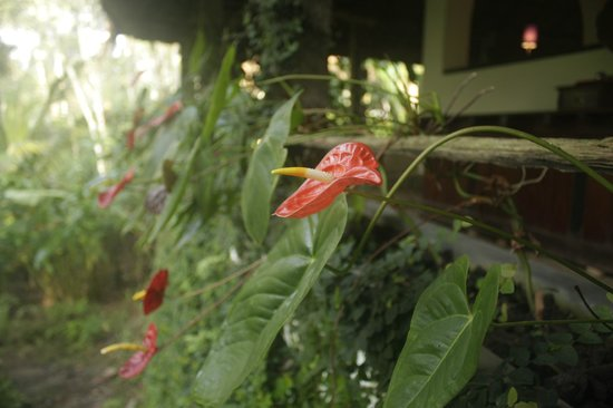 Shalimar Spice Garden - An Amritara Private Hideaway: Beautiful anthuriums