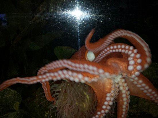 Mystic Aquarium: Octopus in the Aquarium