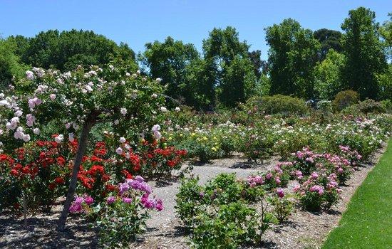 Adelaide Botanic Garden: Adelaide International Rose Garden in Spring