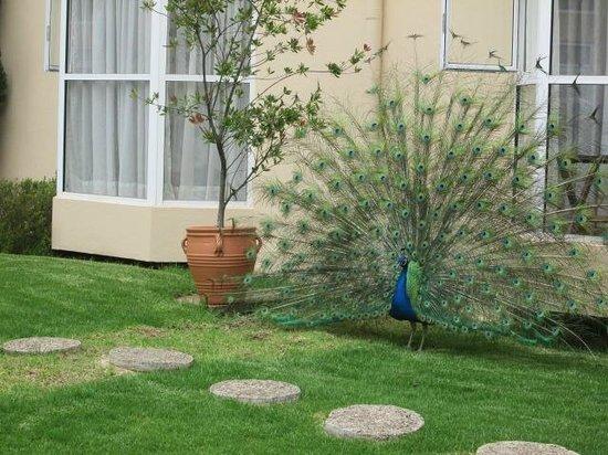 Hotel Villa Mercedes: El pavorreal esta hermoso