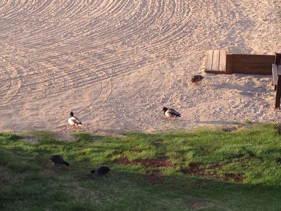 Marina Resort : Ducks in the sand right off our deck.