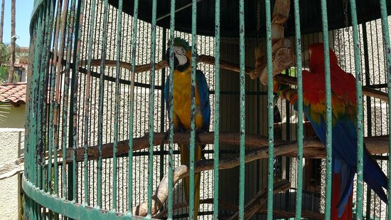 The Mission Inn Hotel and Spa : Macaws at the Mission Inn