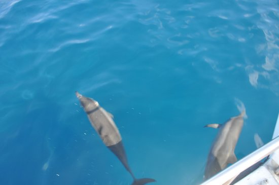 JA Manafaru: A couple of the hundreds of dolphins on the snorkelling trip.
