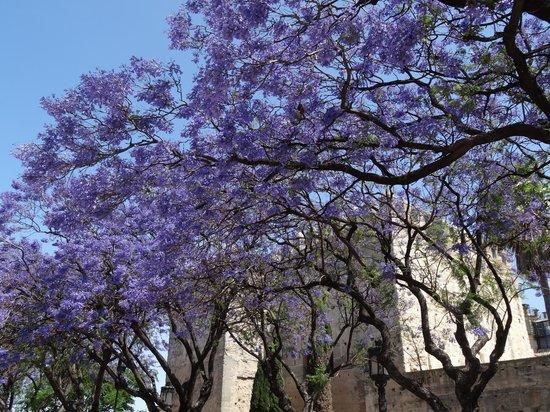 Alcázar de Jerez de la Frontera: Jacaranda