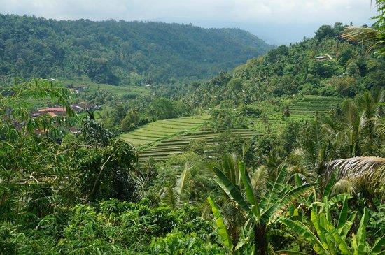 Munduk Moding Plantation: rijstvelden omgeving munduk