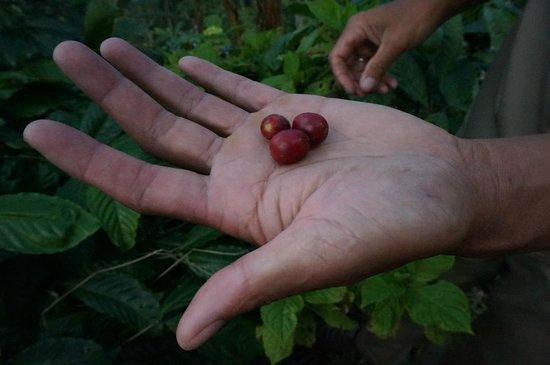 Munduk Moding Plantation: koffieplantage