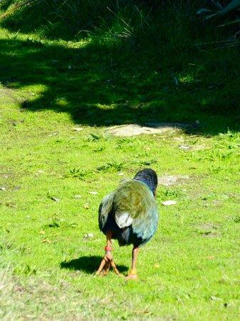 Tiritiri Matangi Island: Takahe waddling away...