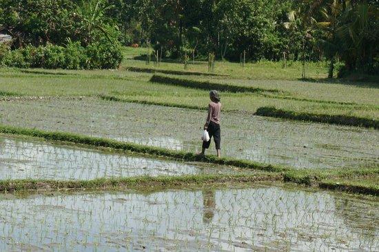 Maya Ubud Resort & Spa: rijstvelden ubud