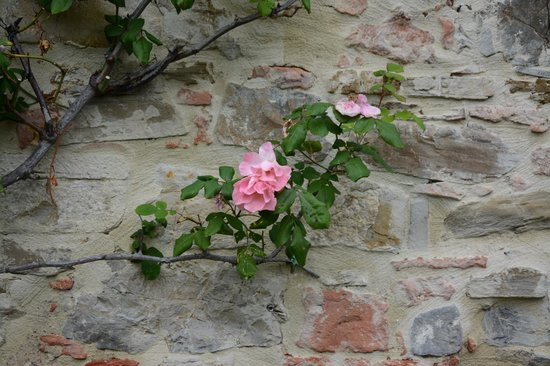 Tenuta Sant'Ilario: rose on the wall