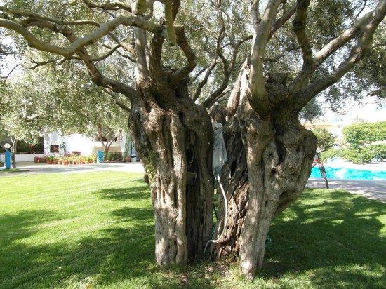 Hotel Makedonia: de oude olijfbomen