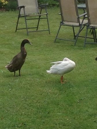 The Potton Nest Bed and Breakfast: running ducks