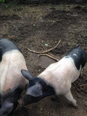 The Potton Nest Bed and Breakfast: tomorrows bacon?