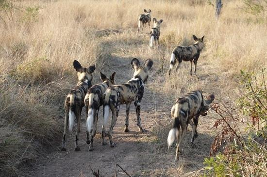 Singita Ebony Lodge: Wild Dogs hunting