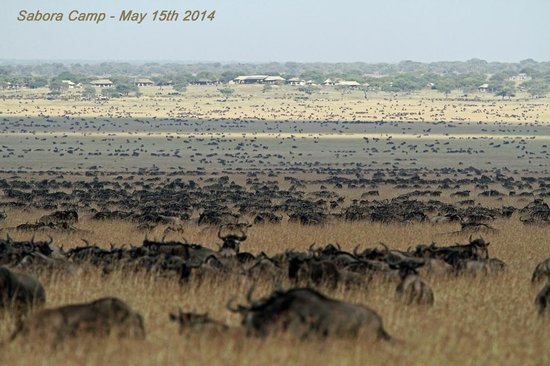 Singita Sabora Tented Camp : The camp from a distance with the migration.