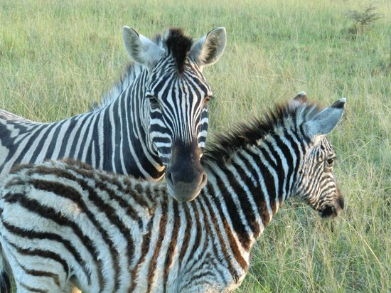 Kariega Game Reserve - All Lodges: Zebra with young