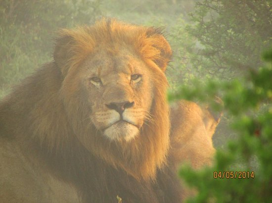 Kariega Game Reserve - Main Lodge: Male Lion on a misty morning