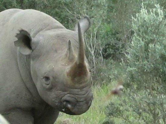 Kariega Game Reserve - Main Lodge: Curious Black Rhino
