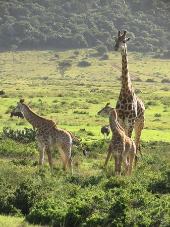Kariega Game Reserve: Giraffe with young