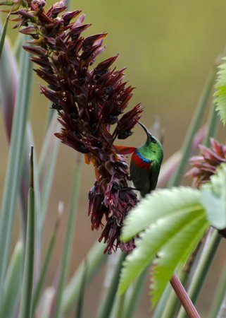 Newlands, Sør-Afrika: Birds, like this sunbird, find plenty to feed on in the Gardens