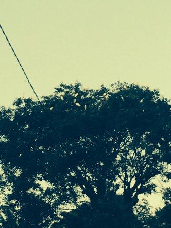 Petulu White Herons : Hardly any birds