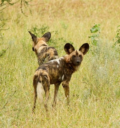 Chilo Gorge Safari Lodge: Wild dogs seen on a previous visit