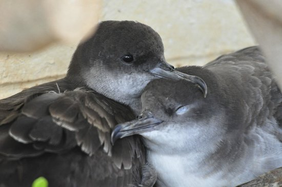 Kilauea Point National Wildlife Refuge: wedge tailed shearwaters nesting