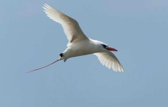Kilauea Point National Wildlife Refuge: red tailed tropic bird