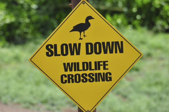 Kilauea Point National Wildlife Refuge: watch out for Hawaiian Goose!