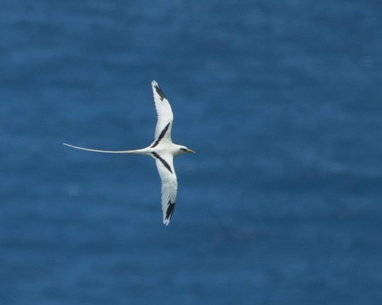 Kilauea Point National Wildlife Refuge: white tailed tropic bird